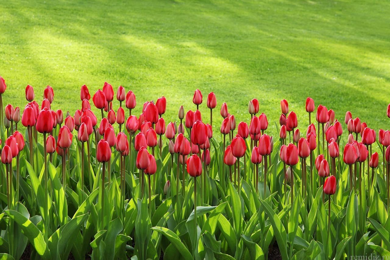 Газон тюльпаны