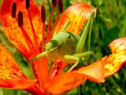 лилия садовая и кузнечик